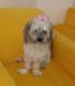 سگ اشپیتز تریر