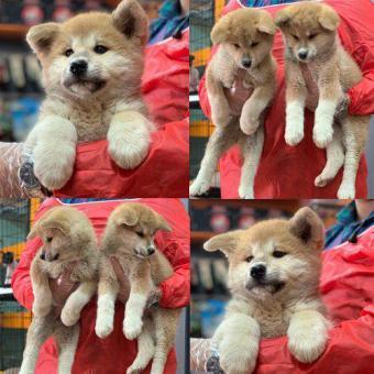 توله ی پرتقالی سگ جاپانیز آکیتا